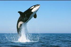 Dibujos marinos orca