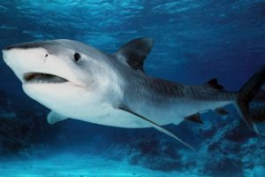 Dibujos marinos tiburon